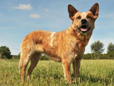 سگ گله استرالیایی قرمز
