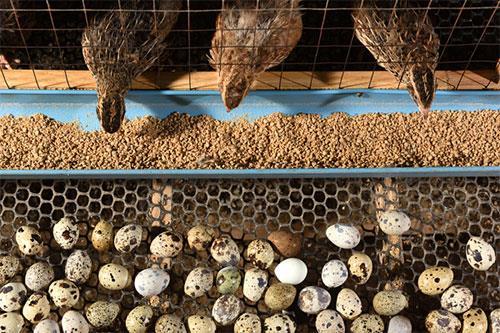 پرورش بلدرچین تخمگذار و مولد