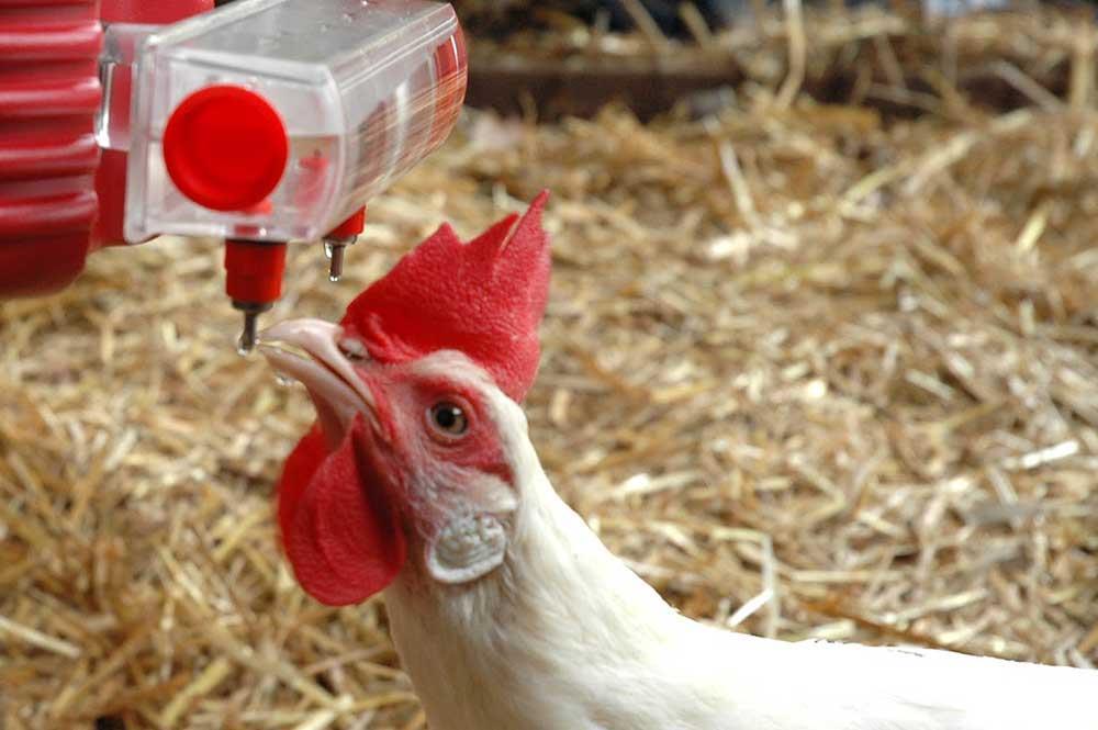 حل مشکلات کیفیت آب در مرغداری