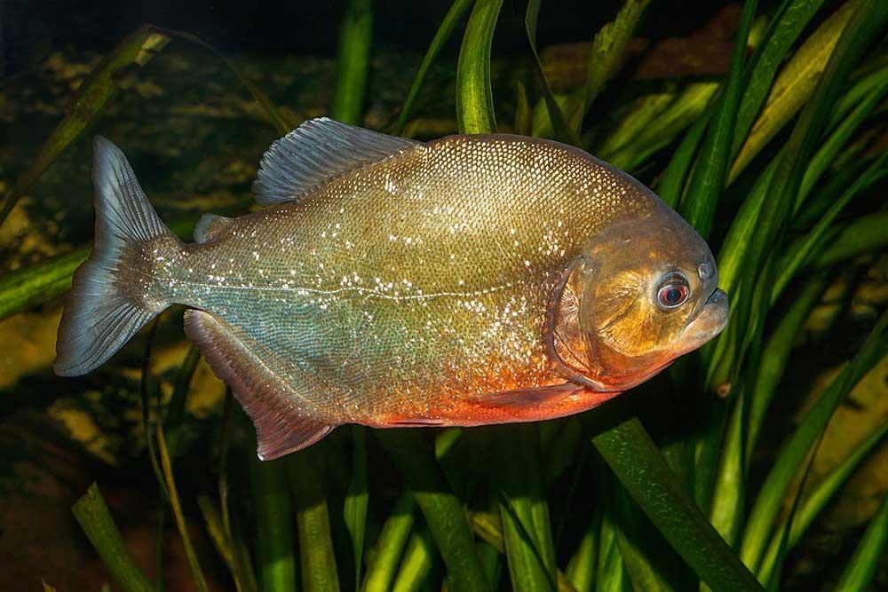 ماهی پاکو (Pacu)