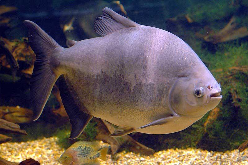 نگهداری ماهی پاکو
