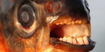 تفاوت ماهی پاکو و پیرانای شکم قرمز