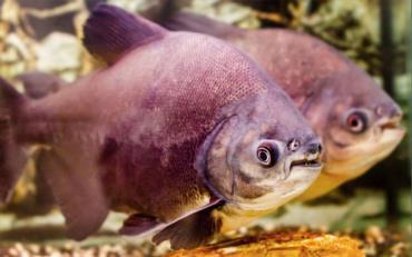 یک جفت ماهی پاکو