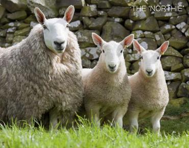 مشخصات ظاهری گوسفند چویوت