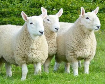 گوسفند چویوت