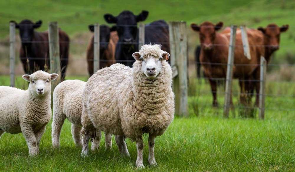 چرا PL-68  نهاده تغذیه ای در تهیه خوارک حیوانات مزرعه ای است