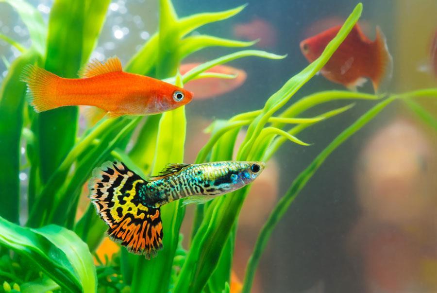 انتخاب ماهی بعنوان حیوان خانگی