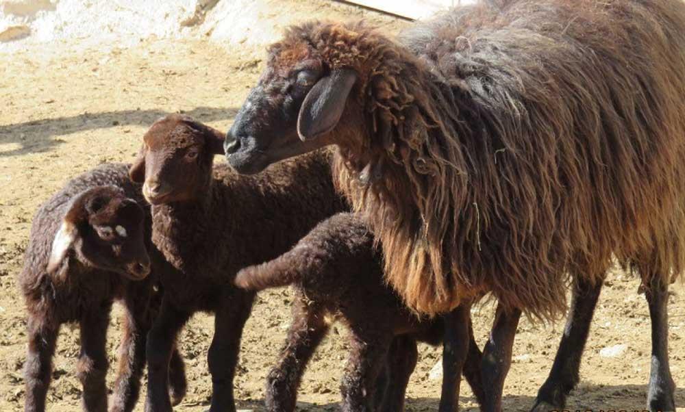گوسفند کردی مقاوم ترین نژاد نسبت به بیماری ها