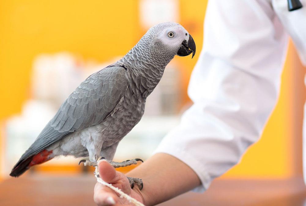 اری پسیتاکوزیس (اورنیتوزیس) یا تب طوطی