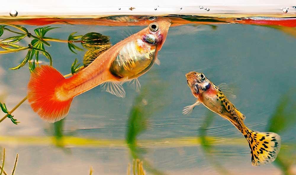 نیازهای غذایی ماهی آکواریومی