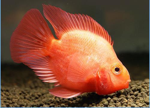 طوطی ماهی سیکلید یا ماهی پرت (Parrot Cichlid Fish)