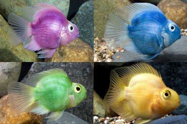 رنگهای ماهی پرت