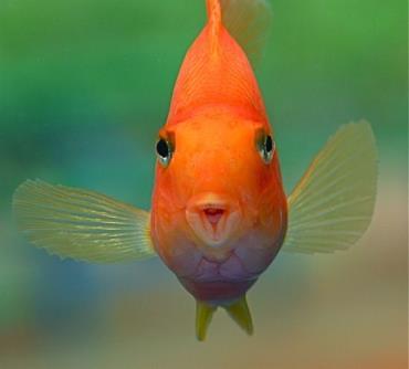 دهان باز طوطی ماهی