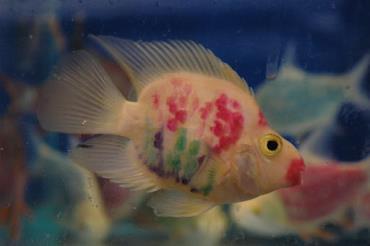 طوطی ماهی رنگارنگ