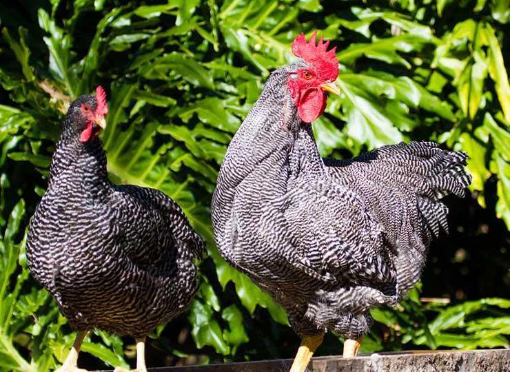 مرغ و خروس پلیموتراک