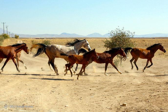اسب نژاد دره شوری