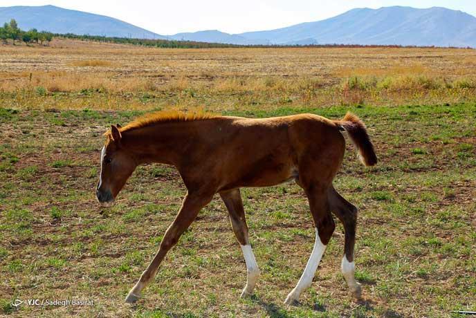 کره اسب دره شوی