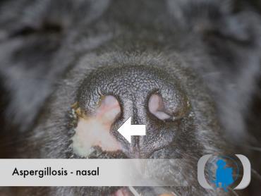 ترشحات چرکی موکوسی بینی در سگ مبتلا به آسپرژیلوز