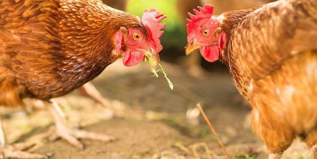 تأثیر ایوبایوتیک های (eubiotic) اسید پایه روی عملکرد مرغ های مادر
