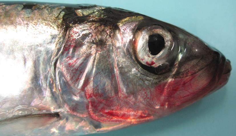 بیماری V.H.S در مزارع پرورش ماهیان قزل آلای رنگین کمان
