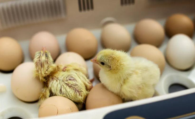 نحوه ذخیره سازی تخم مرغ های نطفه دار در میزان جوجه درآوری
