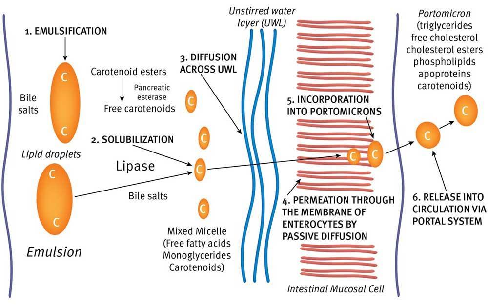 نمایی کلی از مسیر جذب رودهای کاروتنوئیدها