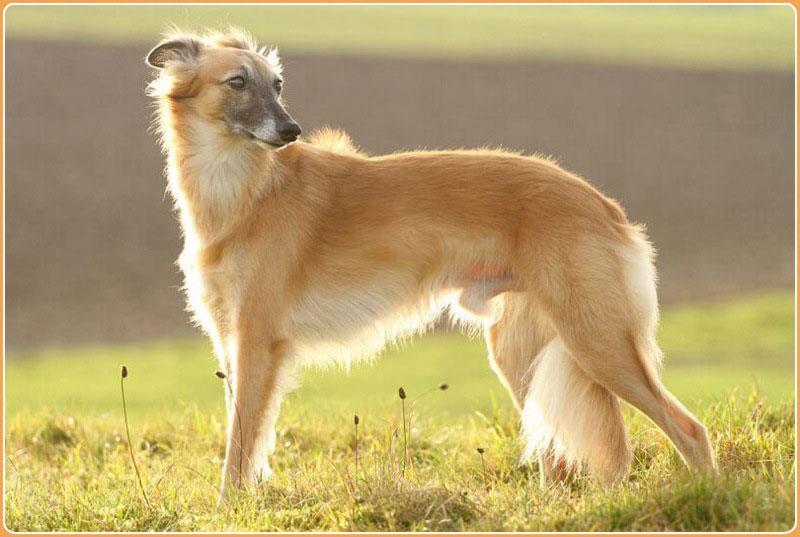 سگ ویپت موبلند (Longhaired Whippet)