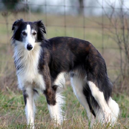 خصوصیات سگ ویپت موبلند