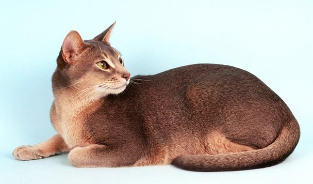 گربه نژاد حبشی (Abyssinian cat)