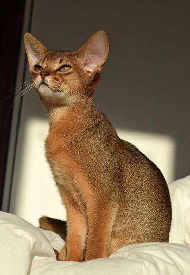 خصوصیات گربه نژاد حبشی