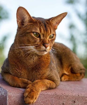 خلق و خوی گربه حبشی
