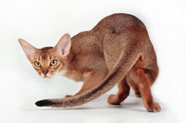 تاریخچه گربه نژاد حبشی