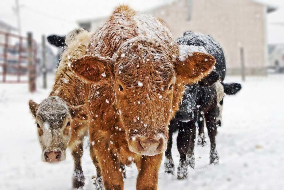 عوامل موثر بر توانایی دام برای مقابله با سرما