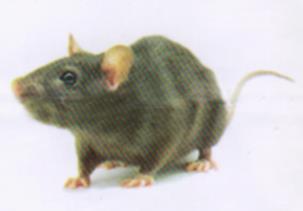 موش صحرایی قهوهای (نروژی)