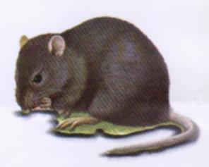 موش صحرایی سیاه