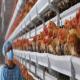 برنامه شما برای تأمین خوراک مرغداری در سال 2021 چیست؟