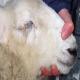 گوسفندی که به ریزش اشک مبتلاست