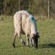 گوسفندی که لنگش دارد