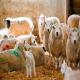 گوسفندی که به یبوست مبتلاست
