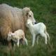 چنانچه گوسفندی به لرزش مبتلا است