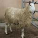 اگر پشم گوسفندی غیرطبیعی باشد