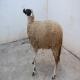 چنانچه گوسفندی بدور خودش بچرخد