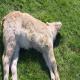 چنانچه گوسفندی دچار تشنج بشود