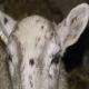 گوسفندی که ناراحتی های چشمی دارد