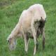 گوسفندی که به اسهال مبتلا است