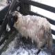 اگر در قسمتی از پوست بدن گوسفند تیرگی دیده شود