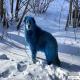 رنگ عجیب سگ ها در روسیه