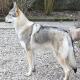 نژاد دورگه سگ گرگی (Wolf-Dog Hybrid)