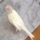 طاسی پرنده