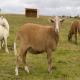 گوسفند نژاد کاتادین (Katahdin Sheep)